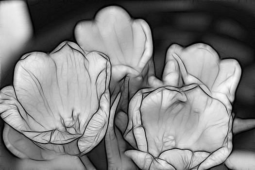 Kevin  Sherf - Tulip Line Study