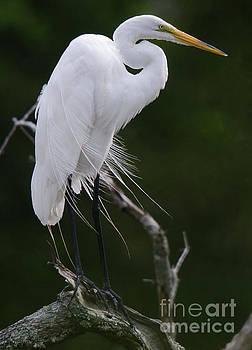 Dale Powell - Willowy Great White Heron Perched in Tree