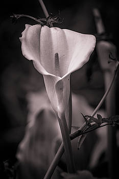 Mike Penney - Cala Lily BW 43