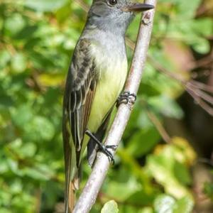 Flycatchers - A Wild Bird Of The World photography contest Art Competition