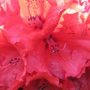 Rhododendrons and Azaleas - Color Photography Art Competition